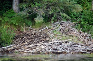 beaver dam by a lake