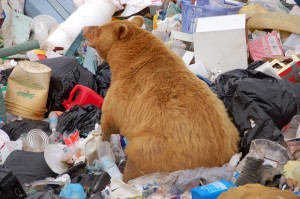 rare cinnamon bear at the dump